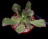 (Echeveria fulgens - JE-6017)  @11 [ ] Unspecified (default): All Rights Reserved  Unspecified Unspecified