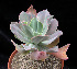 (Echeveria gibbiflora - JE-5666)  @11 [ ] Unspecified (default): All Rights Reserved  Unspecified Unspecified