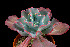 (Echeveria gigantea - JE-5151)  @11 [ ] Unspecified (default): All Rights Reserved  Unspecified Unspecified