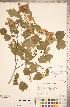 (Crataegus phaenopyrum - CCDB-18301-C2)  @11 [ ] © (2014) Deb Metsger Royal Ontario Museum