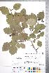 (Crataegus atrovirens - CCDB-18301-B1)  @11 [ ] © (2014) Deb Metsger Royal Ontario Museum