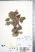 (Crataegus okanaganensis - CCDB-18301-E1)  @11 [ ] Copyright (2012) Tim Dickinson Royal Ontario Museum