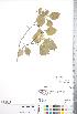 (Crataegus orbicularis - CCDB-18301-G1)  @11 [ ] © (2014) Deb Metsger Royal Ontario Museum