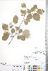(Crataegus phippsii - CCDB-18301-E4)  @11 [ ] © (2014) Deb Metsger Royal Ontario Museum