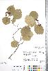 (Crataegus phippsii - CCDB-18301-C4)  @11 [ ] Copyright (2012) Tim Dickinson Royal Ontario Museum