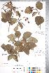 (Crataegus jonesiae - CCDB-18301-H4)  @11 [ ] © (2014) Deb Metsger Royal Ontario Museum