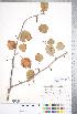 (Crataegus perjucunda - CCDB-18301-C3)  @11 [ ] © (2014) Deb Metsger Royal Ontario Museum