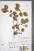 (Crataegus formosa - CCDB-18301-F3)  @11 [ ] © (2014) Deb Metsger Royal Ontario Museum