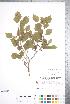 (Crataegus compacta - CCDB-18301-A2)  @11 [ ] © (2014) Deb Metsger Royal Ontario Museum