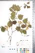 (Crataegus coccinioides - CCDB-18301-F7)  @11 [ ] Copyright (2012) Tim Dickinson Royal Ontario Museum