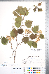 (Crataegus coccinioides - CCDB-18301-F7)  @11 [ ] © (2014) Deb Metsger Royal Ontario Museum