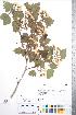 (Crataegus magniflora - CCDB-18301-C6)  @11 [ ] © (2014) Deb Metsger Royal Ontario Museum