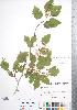 (Crataegus schuettei - CCDB-18301-E6)  @11 [ ] © (2014) Deb Metsger Royal Ontario Museum