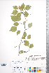 (Crataegus fluviatilis - CCDB-18301-A5)  @11 [ ] Copyright (2012) Tim Dickinson Royal Ontario Museum