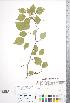 (Crataegus fluviatilis - CCDB-18301-A5)  @11 [ ] © (2014) Deb Metsger Royal Ontario Museum