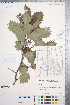 (Crataegus irrasa - CCDB-18301-H5)  @11 [ ] © (2014) Deb Metsger Royal Ontario Museum