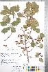 (Crataegus sheridana - CCDB-18301-A8)  @11 [ ] © (2014) Deb Metsger Royal Ontario Museum