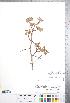 (Crataegus rubribracteolata - CCDB-18301-D8)  @11 [ ] Copyright (2012) Tim Dickinson Royal Ontario Museum