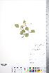 (Crataegus scabrida - CCDB-18301-G8)  @11 [ ] © (2014) Deb Metsger Royal Ontario Museum