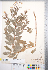(Gillenia - CCDB-18301-H12)  @11 [ ] © (2014) Deb Metsger Royal Ontario Museum