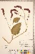 (Polygonum orientale - CCDB-18297-F11)  @11 [ ] © (2014) Deb Metsger Royal Ontario Museum