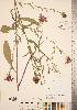 (Centaurea nigrescens - CCDB-22989-D03)  @11 [ ] © (2014) Deb Metsger Royal Ontario Museum