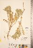 (Centaurea benedicta - CCDB-22989-F04)  @11 [ ] © (2014) Deb Metsger Royal Ontario Museum