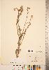(Centaurea melitensis - CCDB-22989-E04)  @11 [ ] © (2014) Deb Metsger Royal Ontario Museum