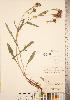 (Centaurea x moncktonii - CCDB-22989-D04)  @11 [ ] © (2014) Deb Metsger Royal Ontario Museum