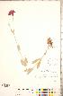 (Silene coronaria - CCDB-23324-F03)  @11 [ ] © (2014) Deb Metsger Royal Ontario Museum