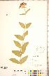 (Silene chalcedonica - CCDB-23324-C02)  @11 [ ] © (2014) Deb Metsger Royal Ontario Museum