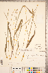 (Paspalum - CCDB-18290-G11)  @11 [ ] © (2014) Deb Metsger Royal Ontario Museum
