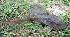 (Hypostomus commersoni - CREG ECOMOL YC-926)  @14 [ ] Copyright (2010) UNLP Universidad Nacional de La Plata
