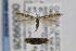 (Coleophora simulans - CNCLEP00009926)  @15 [ ] Copyright (2013) Jean-Francois Landry Canadian National Collection