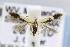 (Coleophora JFL290 - CNCLEP00077203)  @14 [ ] Copyright (2011) Jean-Francois Landry Canadian National Collection