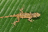 (Anolis cusuco - MSB POE3431)  @11 [ ] Unspecified (default): All Rights Reserved  Unspecified Unspecified