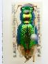 (Megacephala australis - PJH_MEG_choo-lake-01)  @16 [ ] Copyright (2012) P. Hudson South Australian Museum
