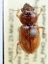 (Phorticosomus - PJH_PHO_eyre-nort-04)  @16 [ ] Copyright (2012) P. Hudson South Australian Museum