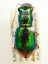 (Megacephala - PJH_MEG_dans-hole-02)  @17 [ ] Copyright (2012) P. Hudson South Australian Museum