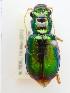 (Megacephala corpulenta - PJH_MEG_geof-tank-01)  @14 [ ] Copyright (2012) P. Hudson South Australian Museum