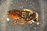 (Megachile sp. F - BBW021)  @13 [ ] CreativeCommons - Attribution Non-Commercial Share-Alike (2012) Scott Groom Flinders University
