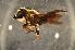 (Megachile sp. J - BBZ013)  @14 [ ] CreativeCommons - Attribution Non-Commercial Share-Alike (2012) Scott Groom Flinders University