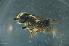 (Megachile sp. samoa - MSAPB_CAB001)  @14 [ ] CreativeCommons - Attribution Non-Commercial Share-Alike (2011) Scott Groom Flinders University