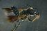 (Megachile sp. 2_samoa - MSAPB_CAD007)  @14 [ ] CreativeCommons - Attribution Non-Commercial Share-Alike (2011) Scott Groom Flinders University