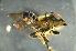(Megachile sp. 2_samoa - MSAPB_CAD009)  @14 [ ] CreativeCommons - Attribution Non-Commercial Share-Alike (2011) Scott Groom Flinders University