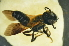(Megachile sp. samoa - MSAPB_CAT001)  @14 [ ] CreativeCommons - Attribution Non-Commercial Share-Alike (2011) Scott Groom Flinders University