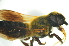  (Megachile sp. 2_serian - MSAPB_MAA006)  @11 [ ] CreativeCommons - Attribution Non-Commercial Share-Alike (2012) Scott Groom Flinders University