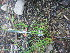 (Juncus brevicaudatus - TJD-710)  @11 [ ] by-nc (2014) MTMG McGill University Herbarium