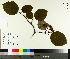 (Viburnum lantanoides - NC2012_306)  @11 [ ] by-nc (2014) MTMG McGill University Herbarium