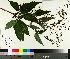 (Scrophularia lanceolata - NC2012_331)  @11 [ ] by-nc (2014) MTMG McGill University Herbarium